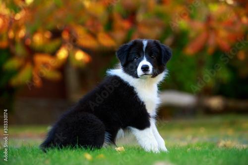 Cuadros en Lienzo Dog breed Border Collie