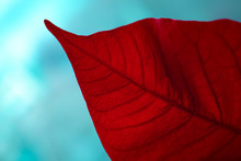 Red Poinsettia Leaf On A Light Blue Blurred Background Close-up