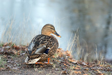Photo Of A Beautiful Duck In T...