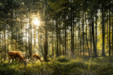 Fototapeta Las - Sun is shining in forest and roe deer are grazing in beautiful forest