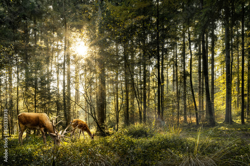 Fototapeta Sun is shining in forest and roe deer are grazing in beautiful forest obraz