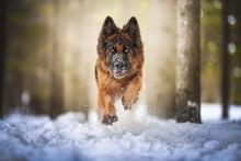 German Shepherd Dog Jumping On...