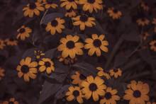 Black Eyed Susan Flowers In Bloom