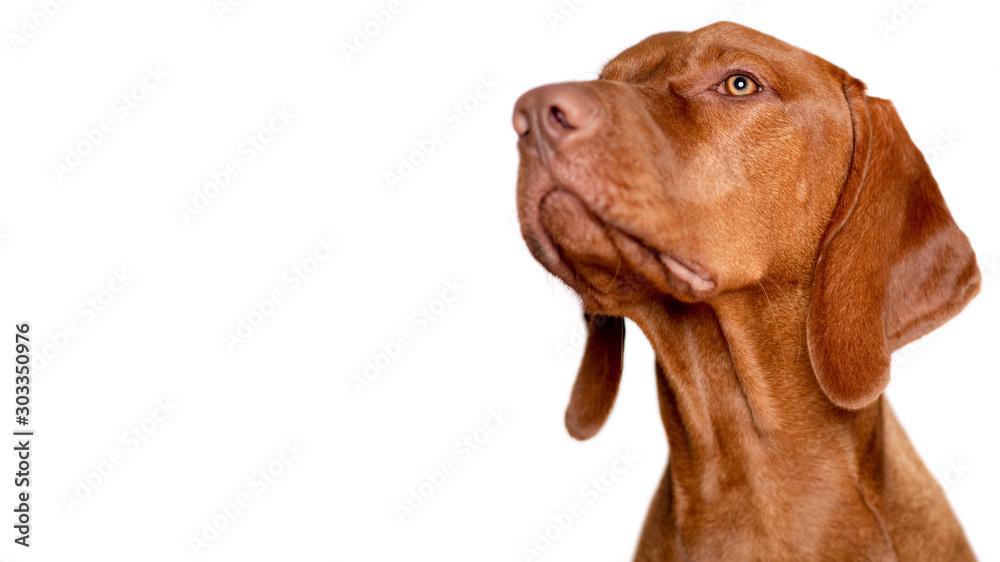 Fototapety, obrazy: Beautiful young male magyar vizsla dog studio portrait. Vizsla pointer dog face close up against white background.