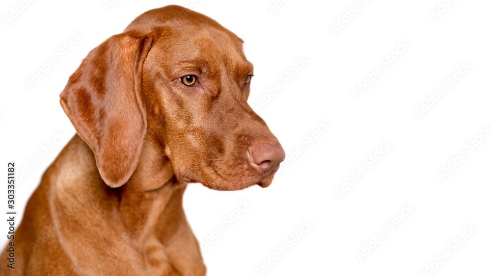 Fototapeta Beautiful young male magyar vizsla dog studio portrait. Vizsla pointer dog face close up against white background.
