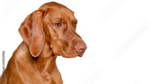 Obraz Beautiful young male magyar vizsla dog studio portrait. Vizsla pointer dog face close up against white background. - fototapety do salonu
