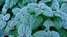 Reif Auf Brennesseln, Frost Auf Grünen Blättern