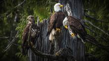 Weißkopfseeadler In Freier Natur