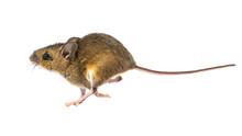 Running Mouse On White Backgro...