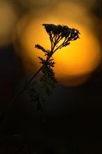 Silhouette Einer Pflanze Bei Goldenem Sonnenuntergang Bei Gegenlicht Im Herbst, Schafgarbe Achillea