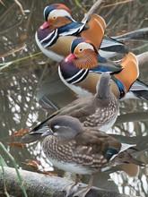 Canards Mandarins Mâles Et Femelles