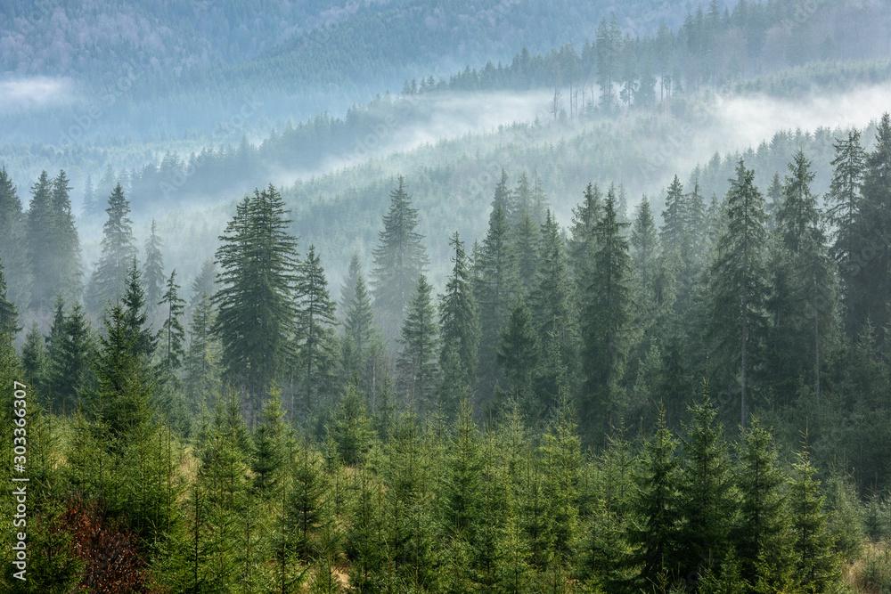 Fototapety, obrazy: Fog above pine forests. Detail of dense pine forest in morning mist.