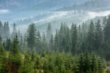 Fog Above Pine Forests. Detail...