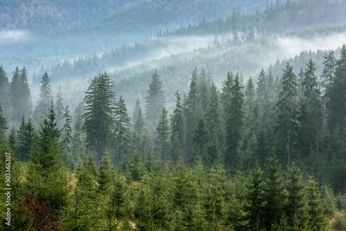 Fog above pine forests. Detail of dense pine forest in morning mist.