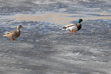 Egyptians Goose Walking On The...