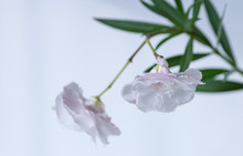 Blooming White Nerium Oleander. Two Flowers Close-up. Selective Focus.