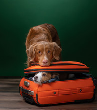 Two Dogs Help Get Ready For A Trip. Pet With A Suitcase. Nova Scotia Duck Tolling Retriever And Jack Russell Terrier