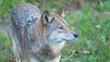 Coyote standing on grass looking around in forest 2