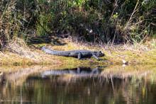 Alligator Im Okefenokee Sumpf