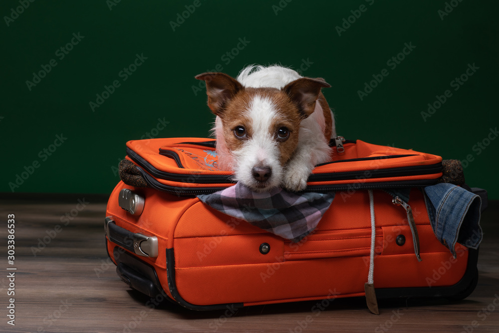 Fototapety, obrazy: doglies on a suitcase . little Jack Russell Terrier is about to travel.