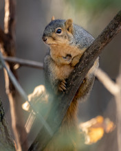 Portrait Photo Of  Fox Squirrel Barking On A Tree Branch