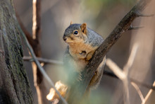 Small Fox Squirrel On A Tree Branch In The Woods