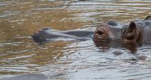 Close Up Portrait Of A Hippopotamus Head, Hippopotamus Amphibius Lying Hipoin Swiming In The Water Focus On Eye