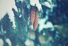 Winter Fir Branches And Pine Cones Covered With Falling Snowflakes