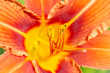 Flower Of The Orange Daylily, ...