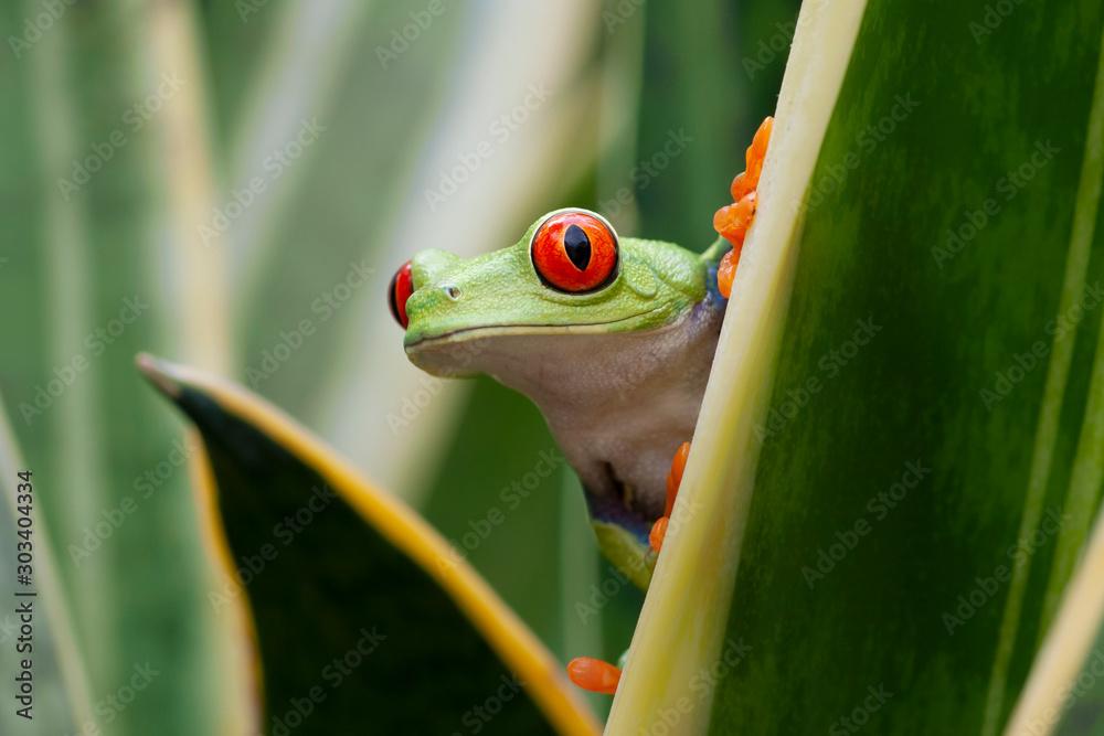Fototapeta Red-eyed Tree Frog in Rainforest