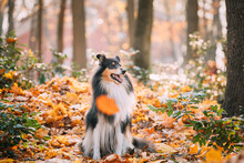 Tricolor Rough Collie, Funny Scottish Collie, Long-haired Collie, English Collie, Lassie Dog Sitting Outdoors In Autumn Day. Portrait