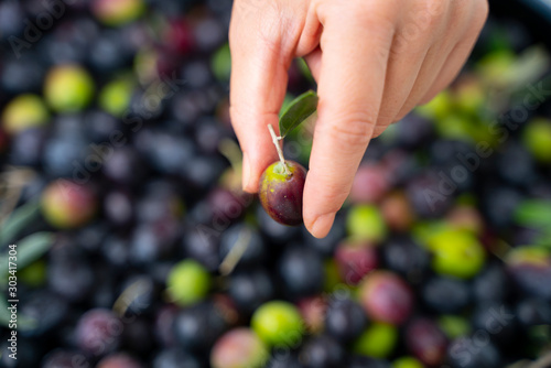 Foto op Aluminium Olijfboom One hand takes in the hands of the olives that have just fallen from the tree for the production of extra virgin olive oil produced in italy to control the quality. Concept of: Italian tradition, bio.