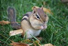 Portrait Of A Cute Chipmunk
