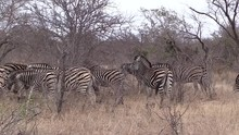 Two Giraffes Move Among A Large Herd Of Zebras In African Bushland
