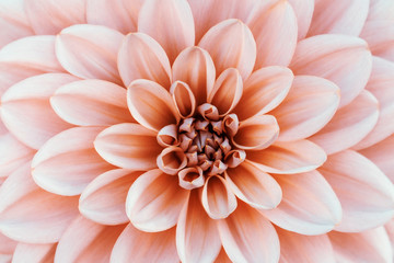 Defocused pastel, peach, coral dahlia petals macro, floral abstract background. Close up of flower dahlia for background, Soft focus.
