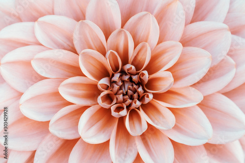 Stampa su Tela Defocused pastel, peach, coral dahlia petals macro, floral abstract background