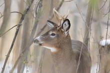 White-tailed Deer (Odocoileus Virginianus) In Winter