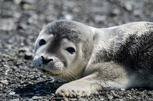 Gray Seal Pup Portrait, Wandering On The Shore, Looking At Camera, Bic National Park, Quebec, Canada