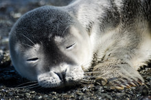 Gray Seal Pup Portrait, Sleepi...