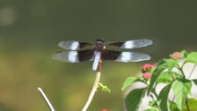 Widow Skimmer Dragonfly Perche...