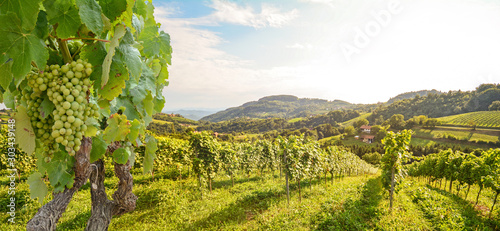 Deurstickers Pistache Vines in a vineyard with white wine grapes in summer, hilly agricultural landscape near winery at wine road, Styria Austria