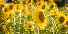 A Group Of Beautiful Yellow Fl...