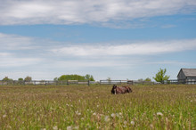 Horse Laying Down In A Field