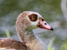 Egyptian Goose Closeup Profile
