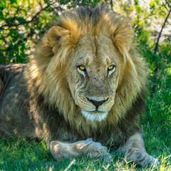 Fototapeta Zwierzęta Lion at Rest