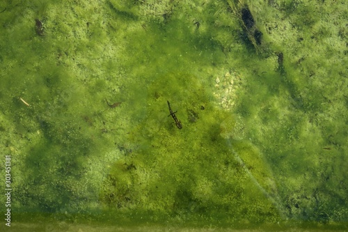 salamander in water fountain with algae in fountain water. - 303451381