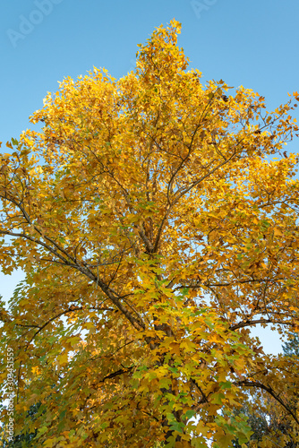 Deciduous tree in full fall color, yellow leaves against a clear blue sky