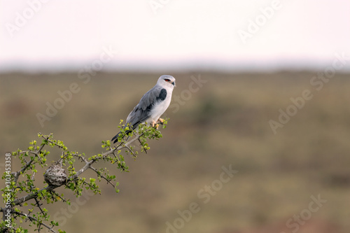 Black-Shouldered Kite perched on a branch. Image taken in the Masai Mara, Kenya.