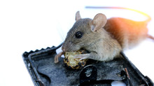 Dead Mouse Trapped By Mouse Trap