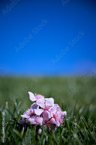 Fallen plumb blossoms in a field of grass